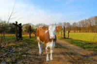 cow in armenian