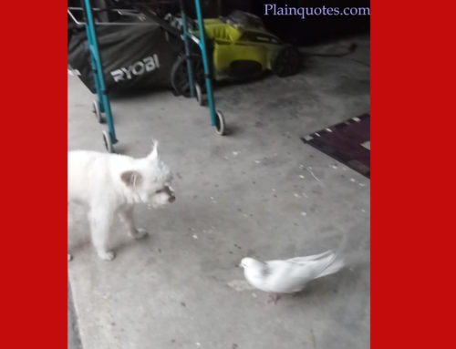 pigeon not afraid and attacking dog
