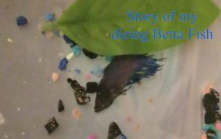 dying betta fish