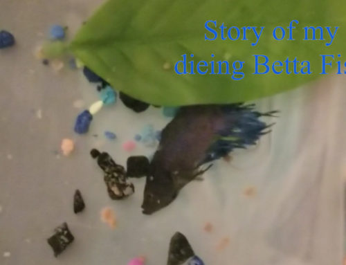Story of my dying Betta Fish