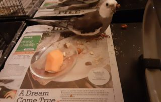 gago my bird cockatiel